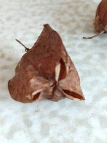 Bladdernut seedpod