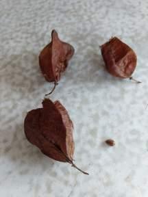 Bladdernut seedpods