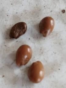 Bladdernut seeds
