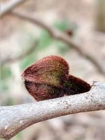 Pawpaw flower bud